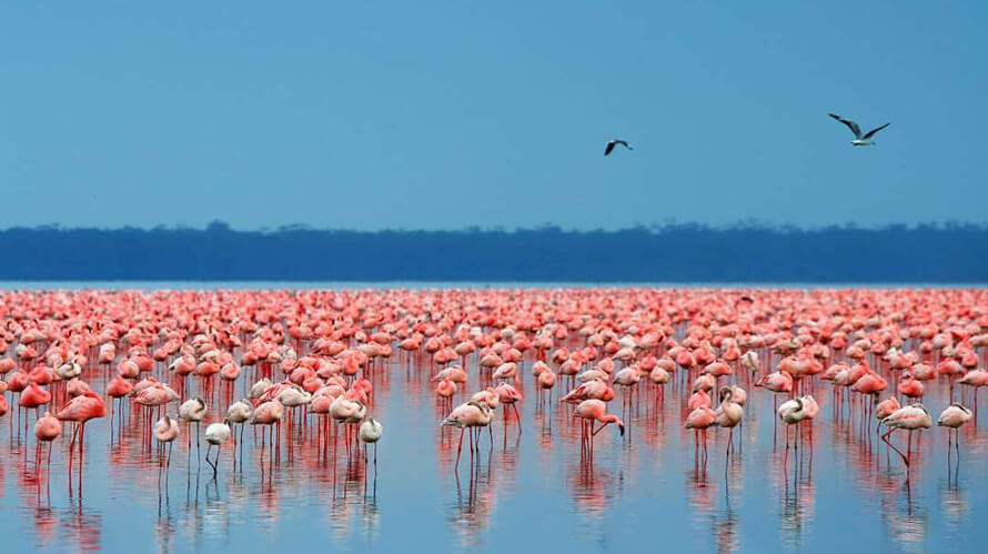 Pink flamingos in Lake Nakuru