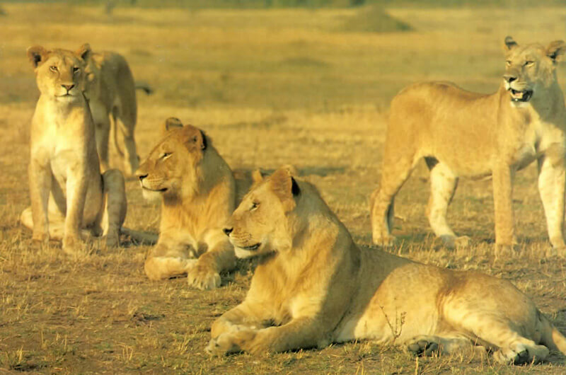 Masai Mara safari - lions