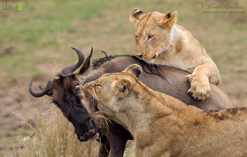 Masai Mara two lions kill wildebeest