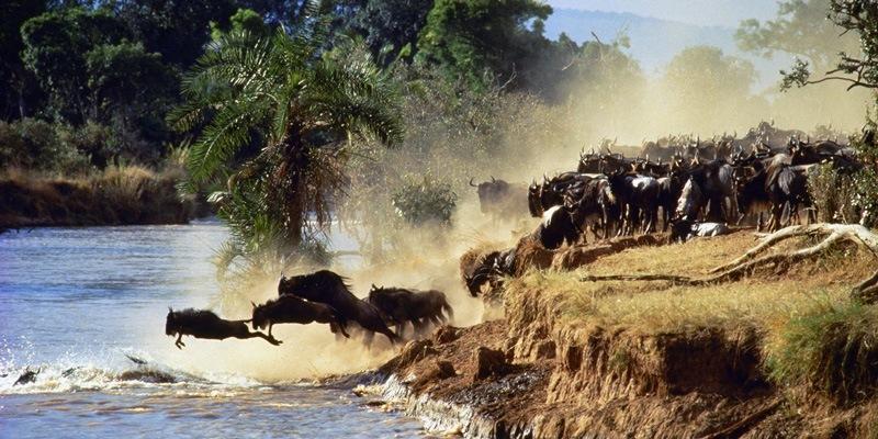 Herd crossing the Mara River