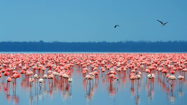 Flamingos, Lake Nakuru - Kenya