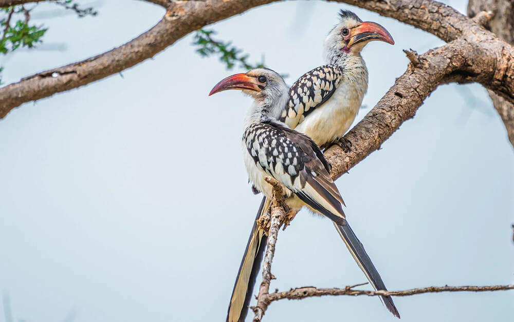 Young hornbills, bird watching in Kenya