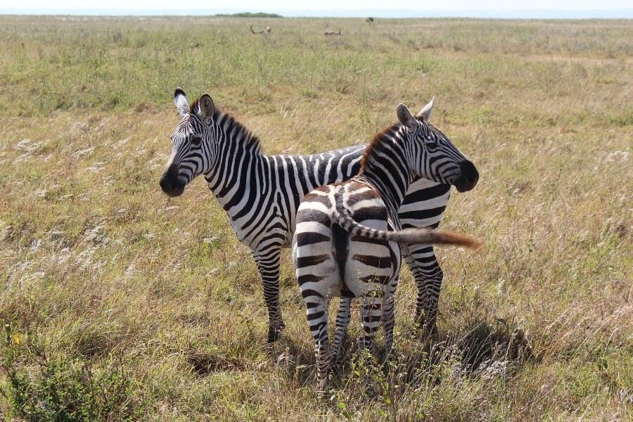 Zebras Nairobi safari tour
